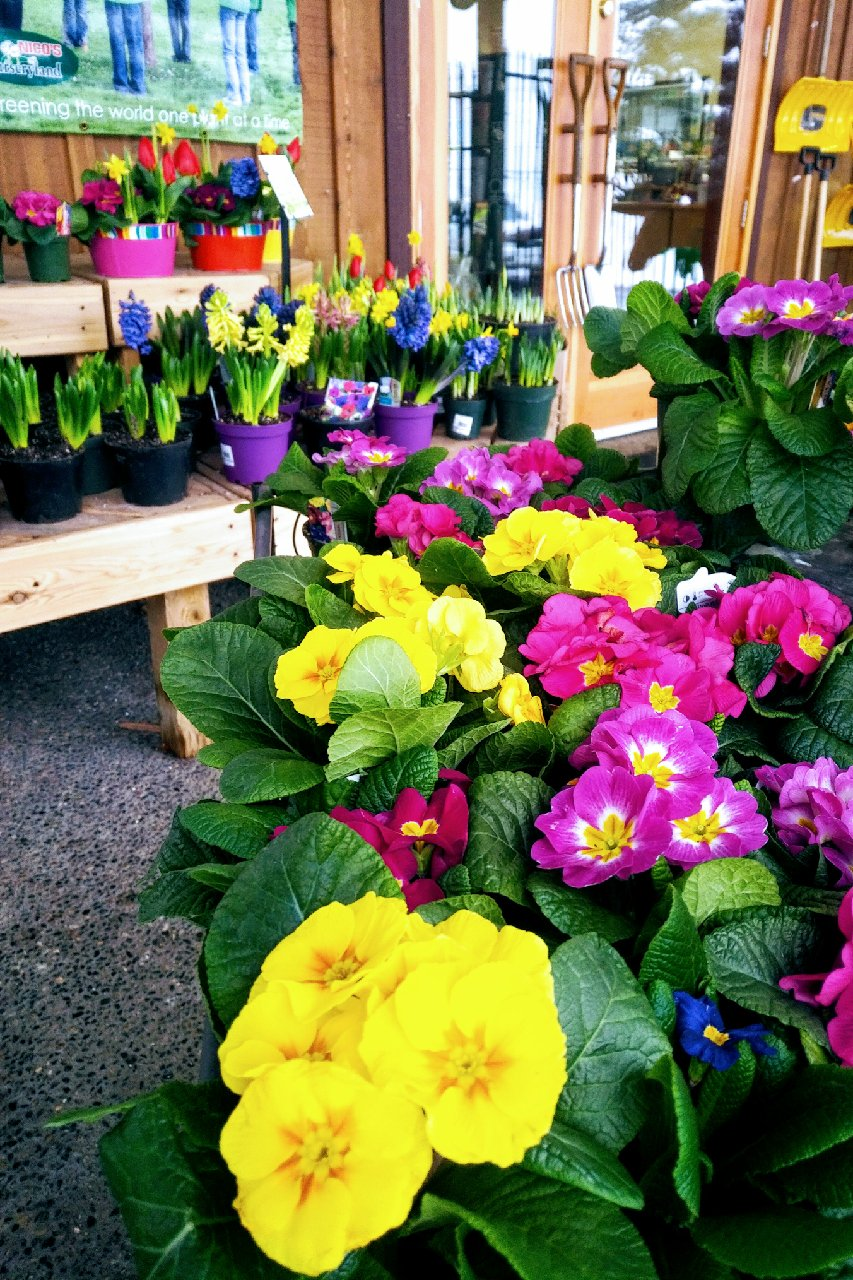loads of Primula and Spring Colour